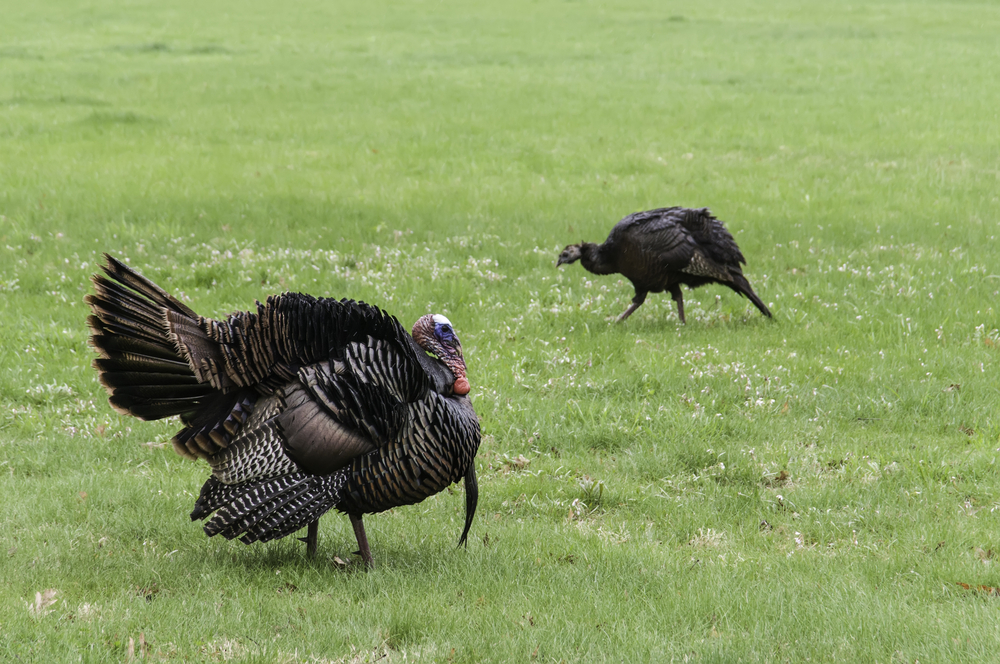 Adult male (foreground) and female (background) wild turkeys (binomial name Meleagris gallopavo) crossing a grassy area in opposite directions, Warrenville, Illinois, in spring (foreground focus)